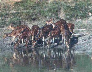 অস্তিত্ব সংকটে হরিণ ॥ শিকারীদের কবলে পড়ে সুন্দরবনের প্রধান আকর্ষণ হরিণ বিলিন হতে চলেছে 1
