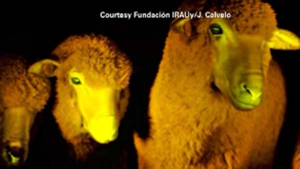 Glowing-Sheep