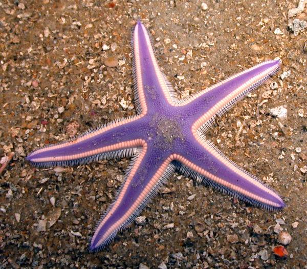 violet-starfish1