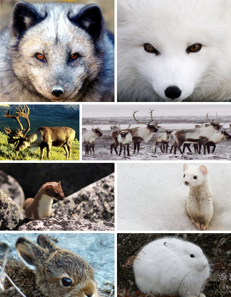 color-changing-foxes-arctic-animals