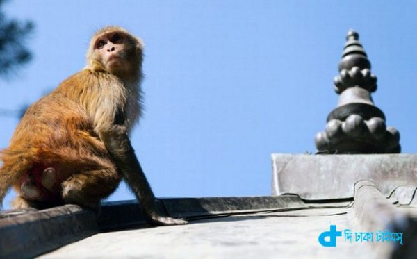 monkeys in India-3