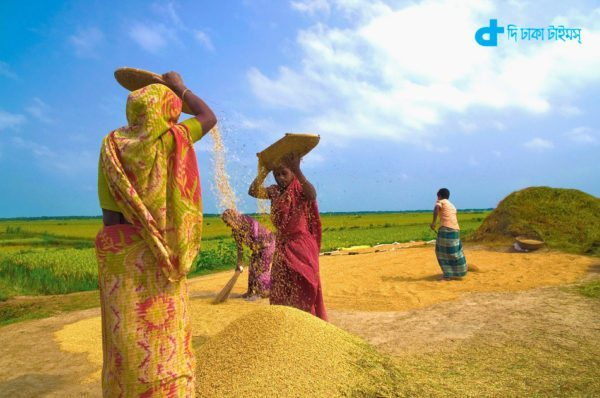 Boro rice threshing scene of season