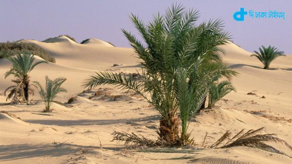 Palm trees growing out of sand in oasis, Oasis Dakhia, Sahara Desert, Egypt
