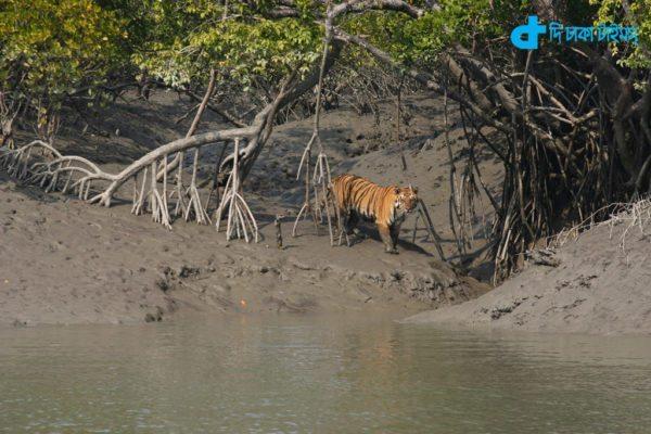 Bengal Tiger & Sundarbans