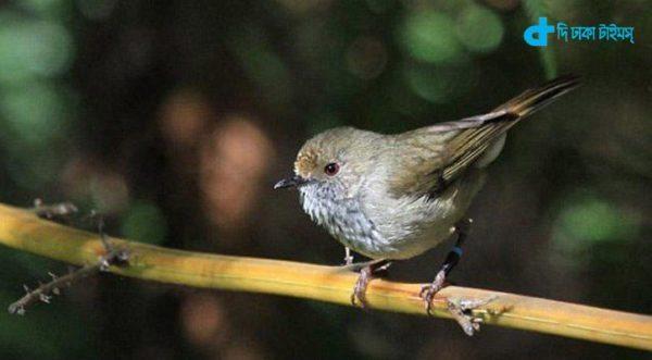 Brown Thornbill bird's-2