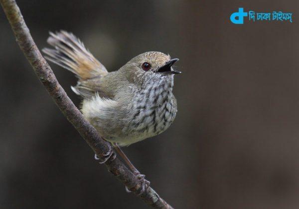 Brown Thornbill bird's