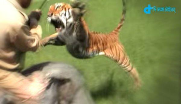 Elephant riding a tiger attack