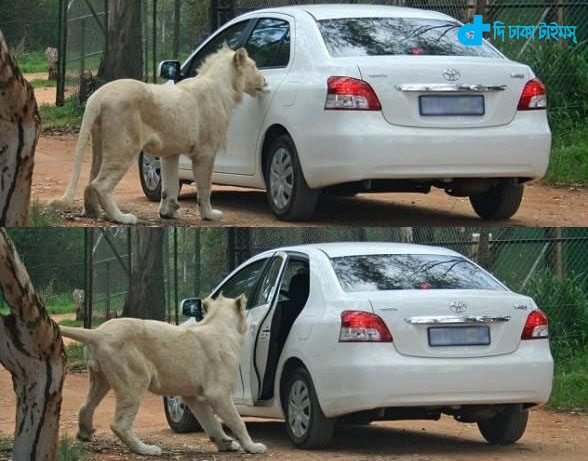 The death of a lion attack