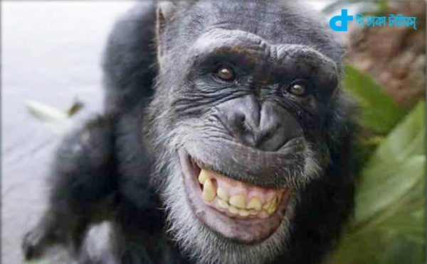 humans can laugh chimpanzees Like-2