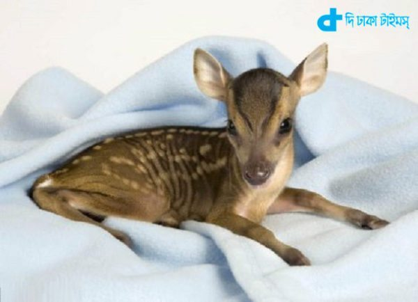 the world's smallest deer-3