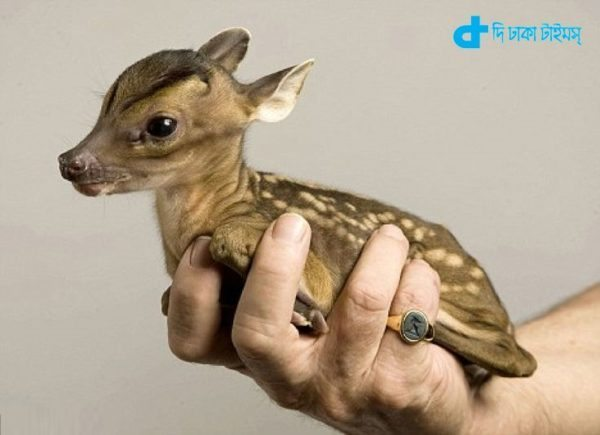 the world's smallest deer