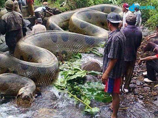 63-foot-long python