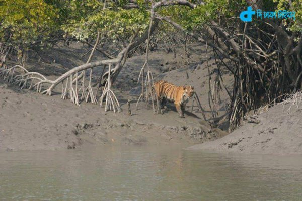 Sundarbans and Royal Bengal Tiger