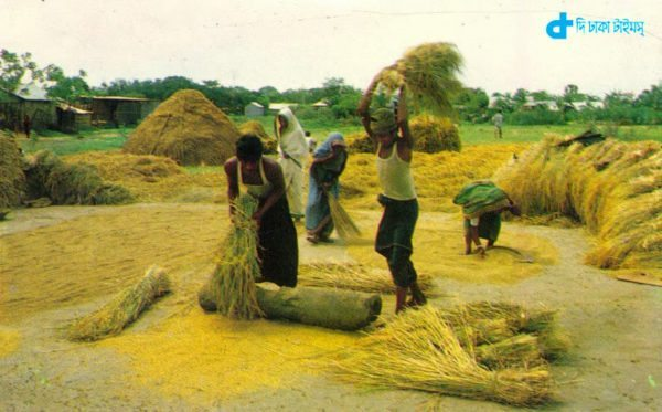farmers And threshing rice