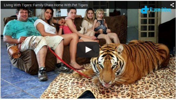 human friendship with tiger