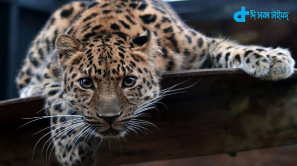 Leopard inside the house