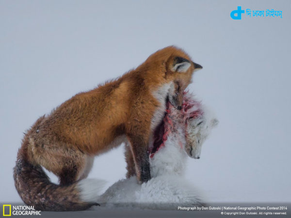 pictures of foxes