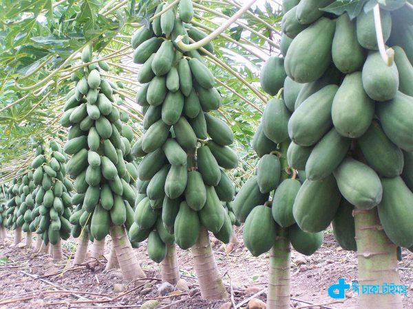 Rows of papaya garden