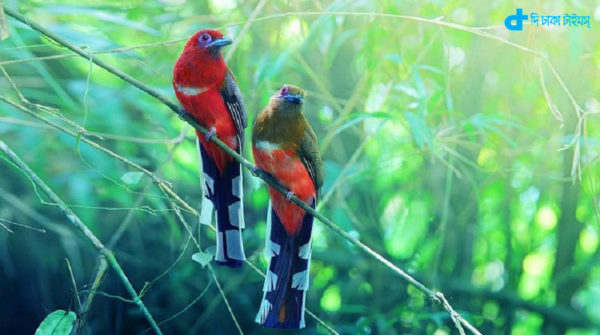 Red-headed Trogon birds