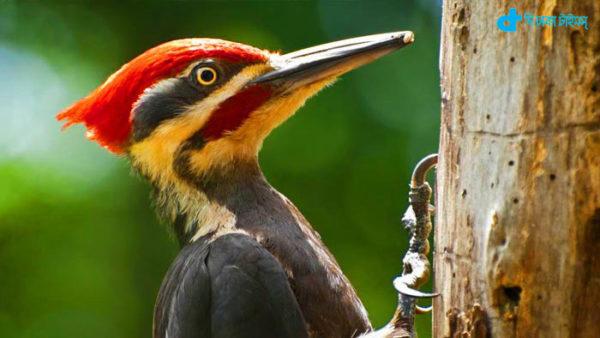 Long beak woodpecker