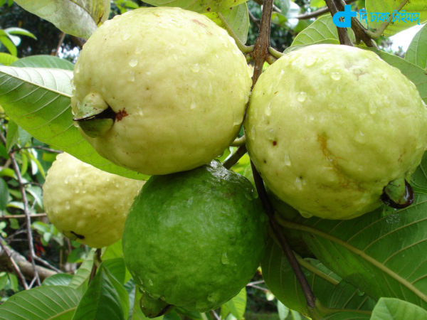 Fresh guava, Healthy fruit
