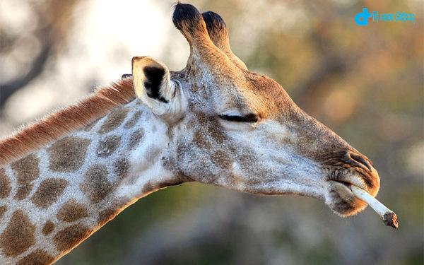 Giraffe smoke