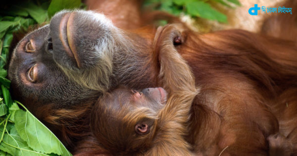 epa04866068 Male baby orang-utan Dalai (bottom) lies in the arms of its mother Daisy (top) in the zoo in Dresden, Germany, 30 July 2015. One week ago the female orang-utan gave birth to Dalai and has since then recovered from the birth in camera.  EPA/ARNO BURGI  (ARNO BURGI / EPA)