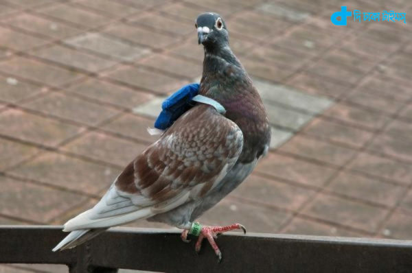 Pollution monitoring pigeons