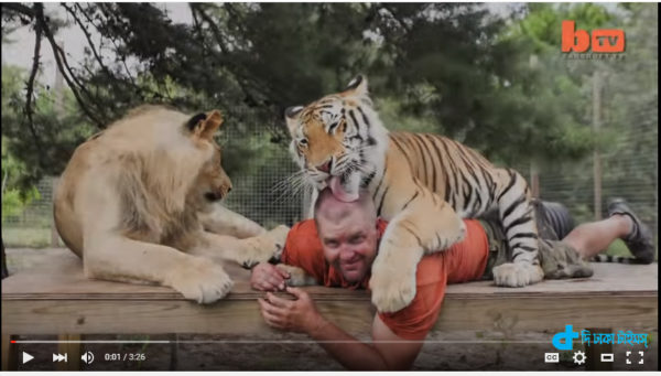 incredible intimacy with lions & tigers