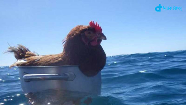 A chicken is running sea for two years