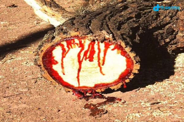 Blood out of a tree