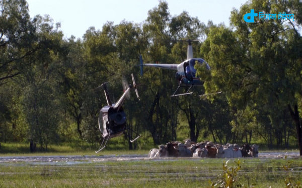 cows grazing in helicopter