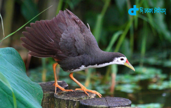 story of a combative bird gallinule