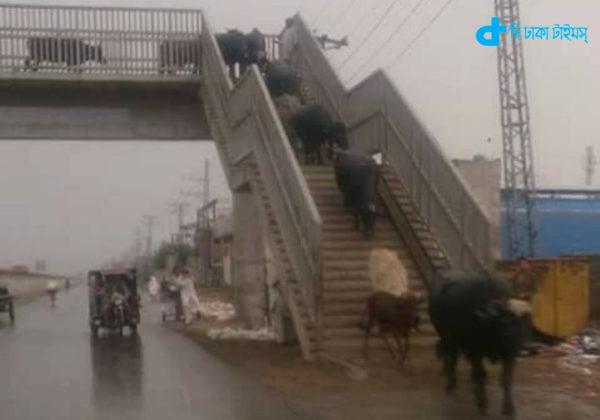 People do not understand, understand cow