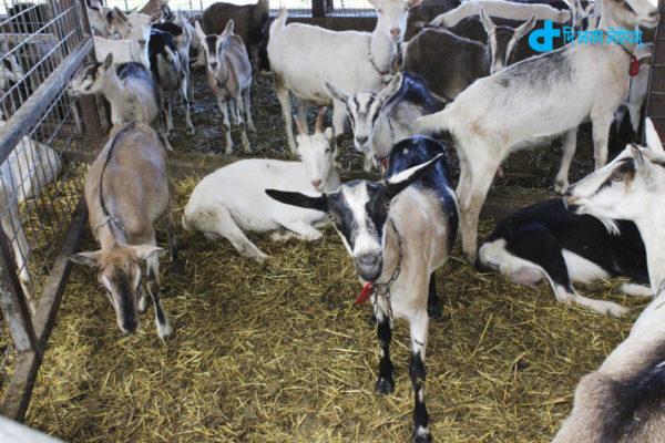3 Thausand goat sacrificed