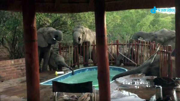 A group of water-thirsty elephants came to swimming pool