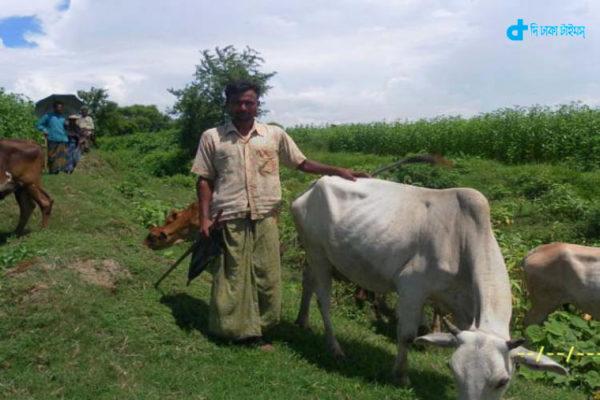 A shepherd grazing cows
