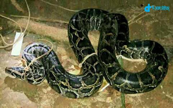 9-foot-boa-recovered-pirojpur-mathabariyaya