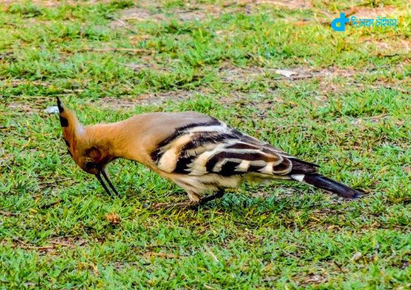 hud-hud-bird