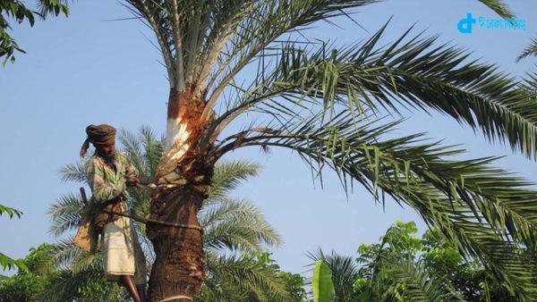 khajur-tree
