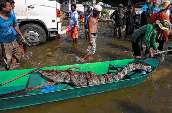 thailand-hungry-crocodile-in-street