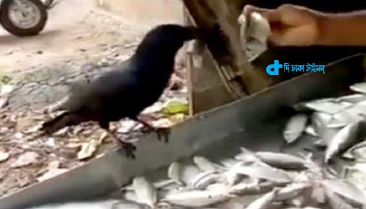 কাকের বড় মাছ বাছাইয়ের ভিডিওটি ভাইরাল! [ভিডিও] 1