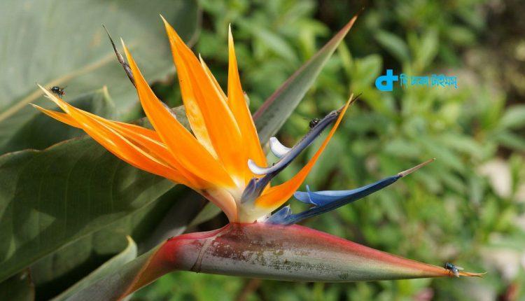 'বার্ডস অফ প্যারাডাইস' স্বর্গীয় পাখির নামে স্বর্গীয় ফুল! 1